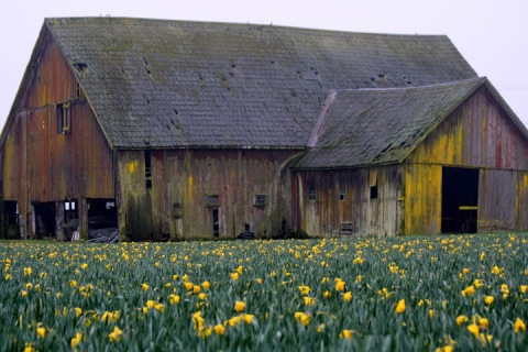 Old barn with daffodils