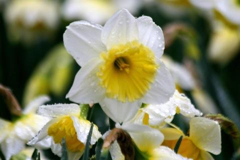 Daffodil in the Roozengaarde display garden