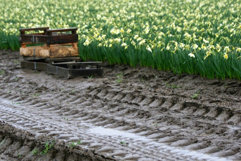 Mud in the daffodil fields