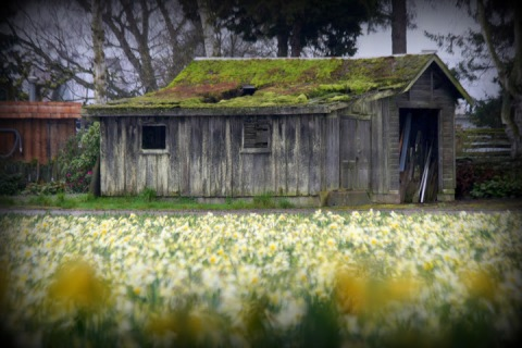Old shed with daffodils