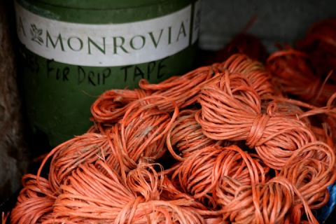 Bundled twine in readiness for planting