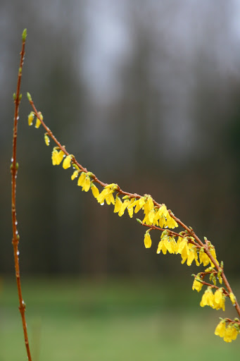 Yellow against gray -- forsythia