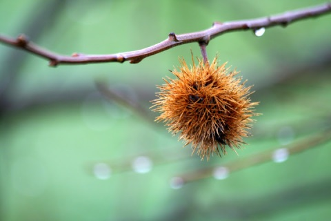 Single dangling chestnut