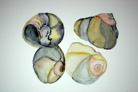 Moon Snail Shells # 94 - 97, watercolor sketches