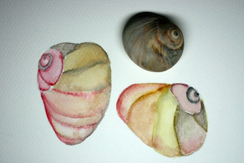 Moon Snail Shells # 98 - 99, watercolor sketches