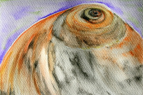 Moon Snail Shell # 36, watercolor pencil sketch with washes