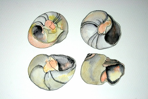 Moon Snail Shells # 61 - 64, ink and watercolor sketches