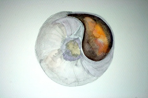 Moon Snail Shell # 66, pencil and watercolor sketch