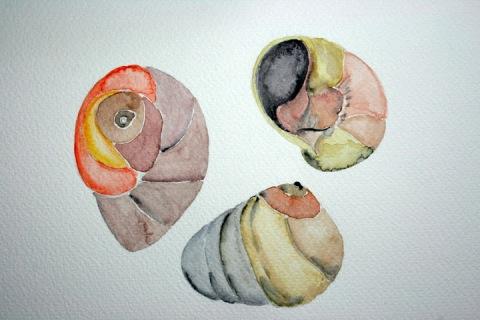 Moon Snail Shells # 69, 70 & 71, watercolor sketches