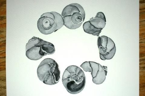 Moon Snail Shells # 72 - 79, watercolor sketches using Payne's Gray