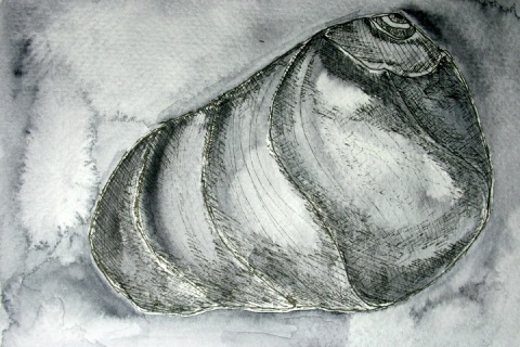 Moon Snail Shell # 84, ink sketch with watercolor wash