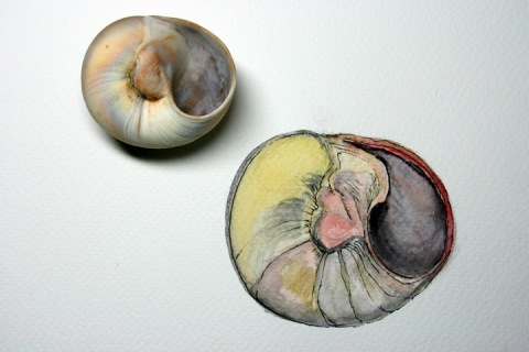 Moon Snail Shell # 86, watercolor sketch