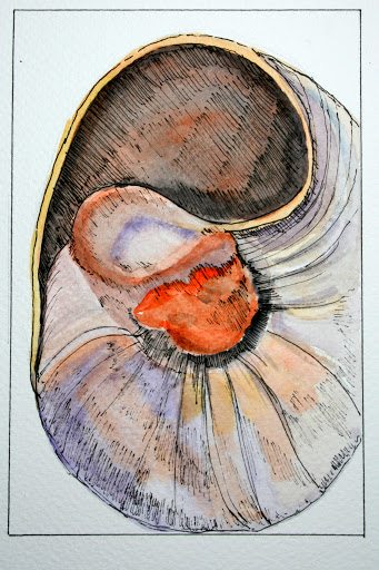 Moon Snail Shell # 87, ink and watercolor sketch