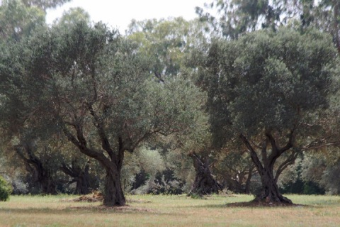 Old olive trees in an adjacent park