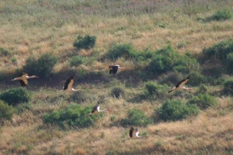 Migrating storks
