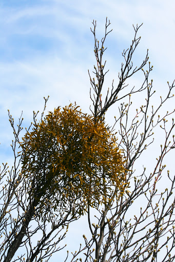 Mistletoe along the trail -- it was a common sight