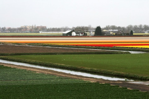 Nearby fileds in Lisse starting to show color