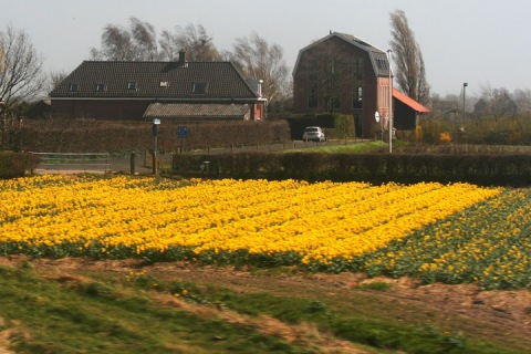 Fields of yellow daffodils