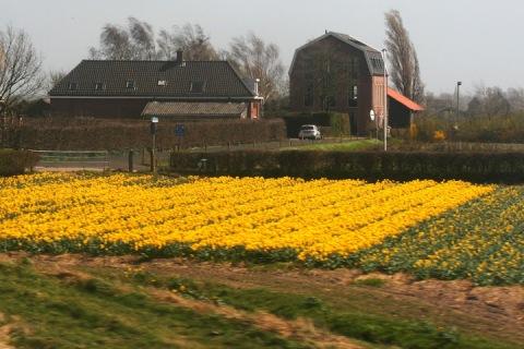 Fields of yellow daffodils