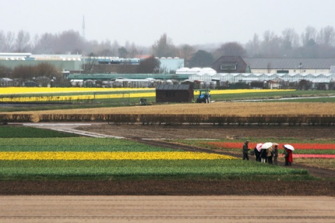 View of the adjacent flower fields from the windmill at Keukenhof