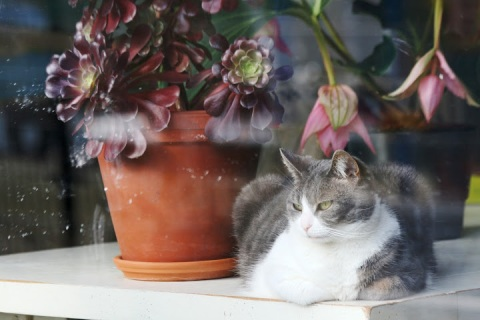 Haarlem cat in a window