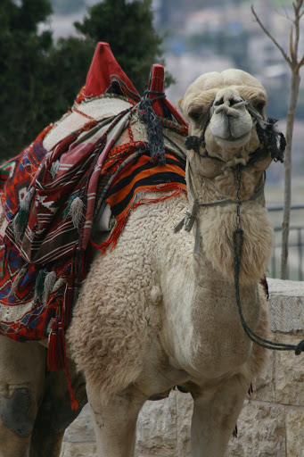 I wanted to see a camel on this trip, and we saw this one (admittedly a tourist prop) on the Mount of Olives