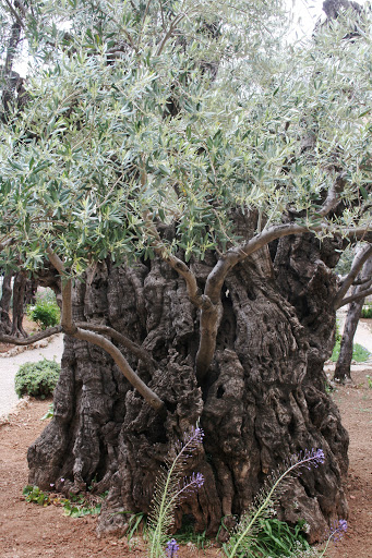 Old olive tree in the Garden of Olives