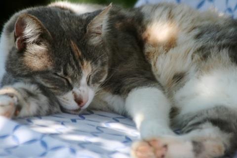 Israeli cat, Gypsy