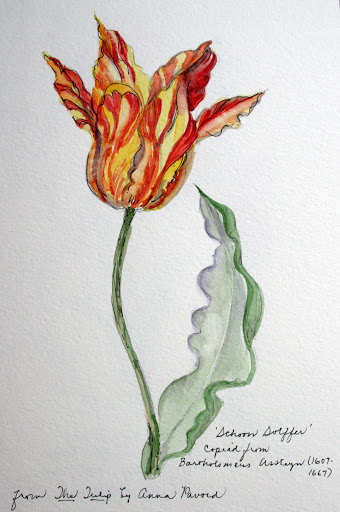 "Watercolor and ink sketch of tulip ""Schoon Solffer"" copied from Bratholomeus Assteryn (1607-1667) found in Anna Pavord's book, The Tulip"