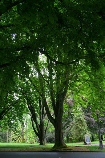 Old trees, Volunteer Park, Seattle
