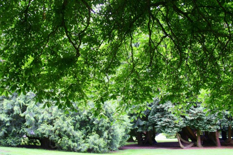 Under the canopy of a horse chestnut tree