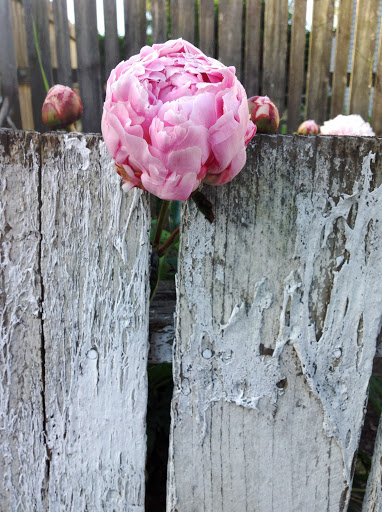 Pink peony with weathered fence