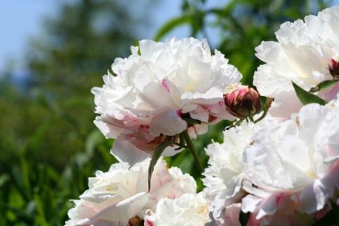 White peonies from Kitty's garden