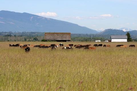Cows grazing, Skagit Valley