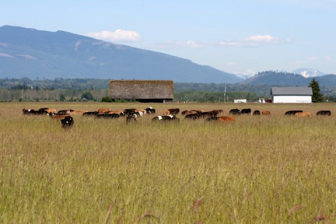 Cows grazing, Skagit Valley