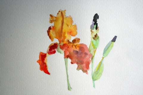 Watercolor sketch of irises from Kitty's garden