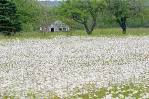 Field of daisies near Sequim, WA
