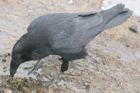 Scavenging raven (lovely feathers)
