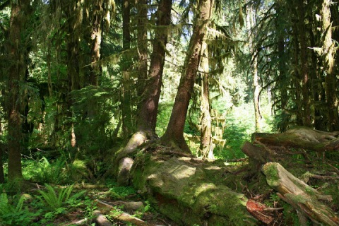 Nurse log (fallen tree nourishing new trees)