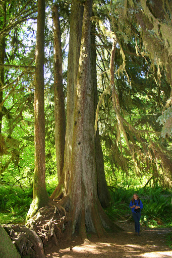 Tall trees of the Hoh Rain Forest