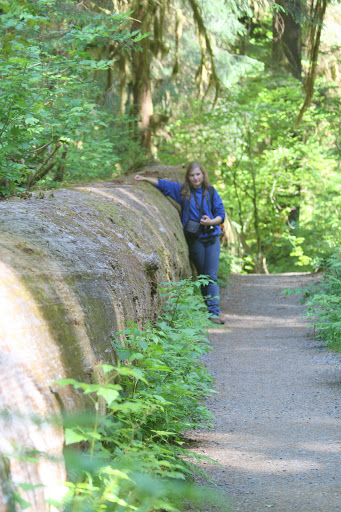 190-foot fallen Sitka spruce