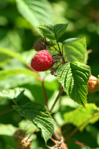 Ripening raspberries