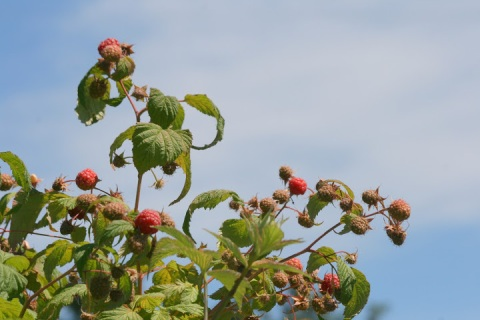 Raspberries with blue sky