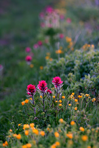 Magenta Indian Paintbrush dotted the ditches along the road to Sunrise