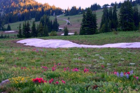 Wildflowers in the alpine meadows at Sunrise, Mount Rainier