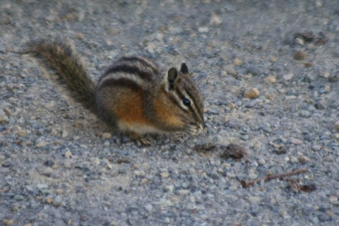 Wildlife sighting!  A chipmunk.