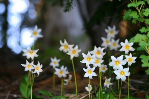 Avalance lilies.  They simply carpeted the forest floor along a trail near Tipsoo Lake.