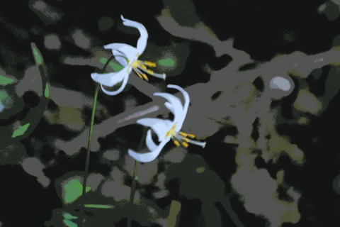 Avalanche lilies (sometimes I can salvage a blurry photo by editing it using a posterized effect)