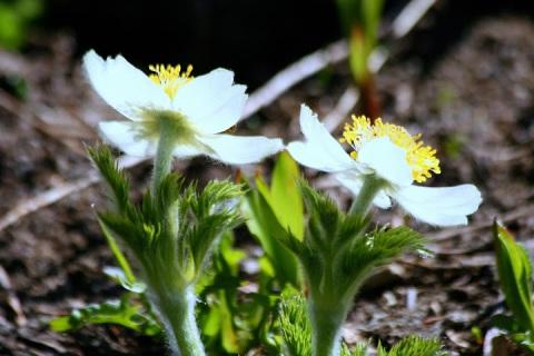 Western anemones