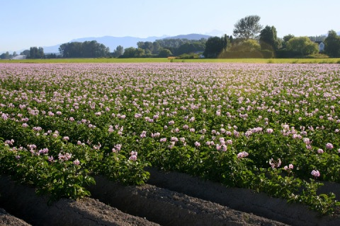Deep mounds, home to a new crop of potatoes